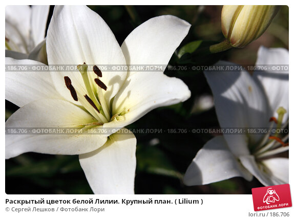 Раскрытый цветок белой Лилии. Крупный план. ( Lilium ), фото № 186706, снято 22 июля 2007 г. (c) Сергей Лешков / Фотобанк Лори