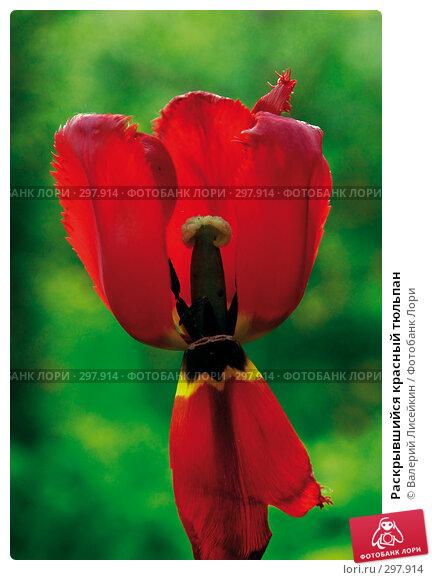 Раскрывшийся красный тюльпан, фото № 297914, снято 18 мая 2008 г. (c) Валерий Лисейкин / Фотобанк Лори