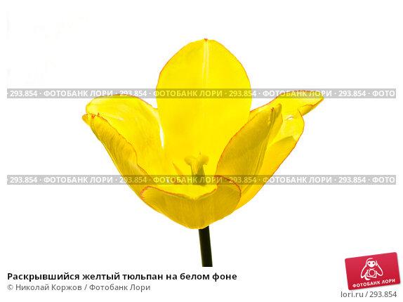 Раскрывшийся желтый тюльпан на белом фоне, фото № 293854, снято 18 мая 2008 г. (c) Николай Коржов / Фотобанк Лори