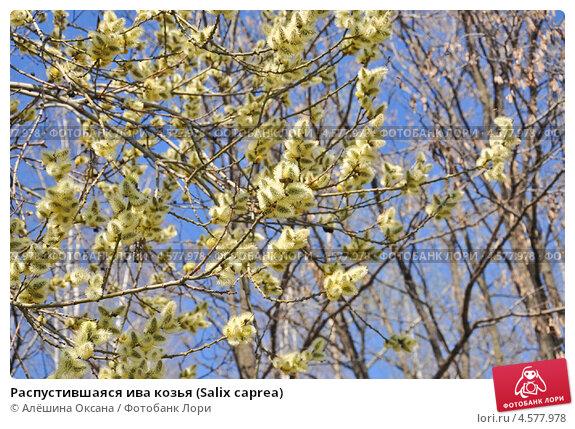 Купить «Распустившаяся ива козья (Salix caprea)», эксклюзивное фото № 4577978, снято 23 апреля 2013 г. (c) Алёшина Оксана / Фотобанк Лори