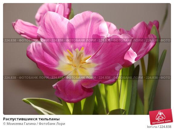 Распустившиеся тюльпаны, фото № 224838, снято 10 марта 2008 г. (c) Моисеева Галина / Фотобанк Лори