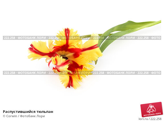 Купить «Распустившийся тюльпан», фото № 222258, снято 10 марта 2008 г. (c) Corwin / Фотобанк Лори