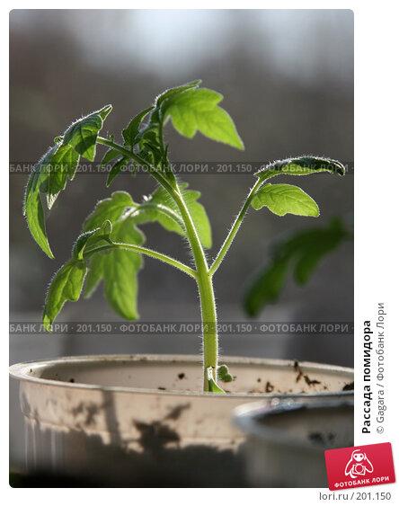 Рассада помидора, фото № 201150, снято 8 апреля 2007 г. (c) Gagara / Фотобанк Лори