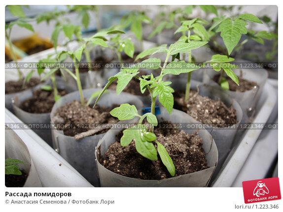 Купить «Рассада помидоров», фото № 1223346, снято 8 марта 2009 г. (c) Анастасия Семенова / Фотобанк Лори
