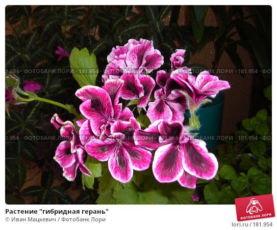 """Растение """"гибридная герань"""", фото № 181954, снято 18 августа 2006 г. (c) Иван Мацкевич / Фотобанк Лори"""