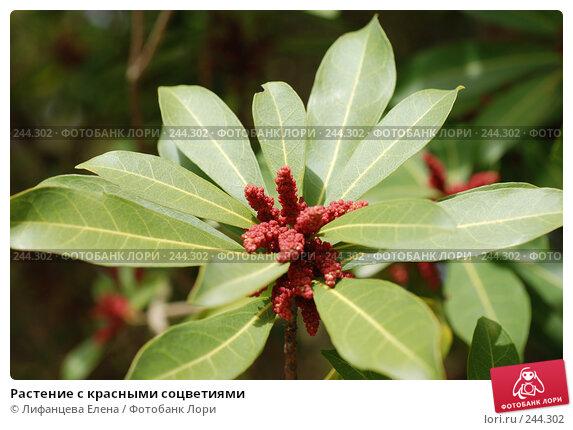 Растение с красными соцветиями, фото № 244302, снято 24 марта 2008 г. (c) Лифанцева Елена / Фотобанк Лори