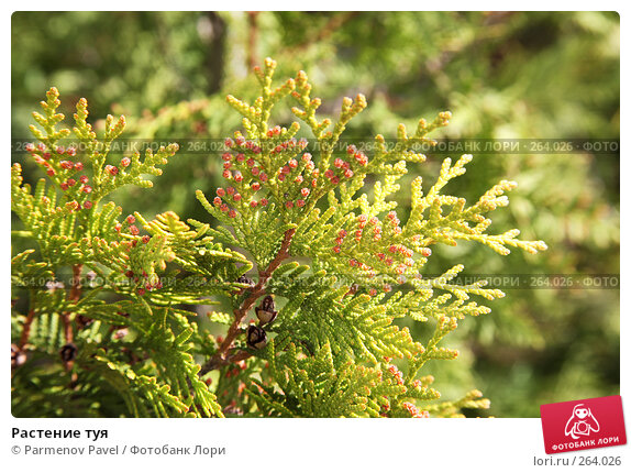 Растение туя, фото № 264026, снято 19 апреля 2008 г. (c) Parmenov Pavel / Фотобанк Лори