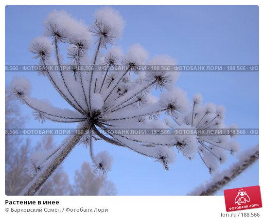 Растение в инее, фото № 188566, снято 19 декабря 2004 г. (c) Барковский Семён / Фотобанк Лори