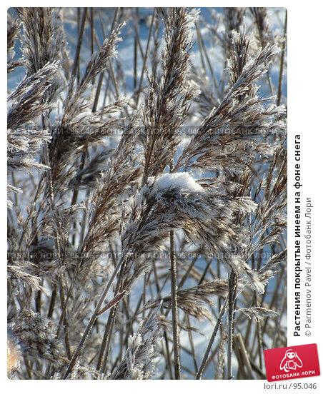 Растения покрытые инеем на фоне снега, фото № 95046, снято 12 февраля 2007 г. (c) Parmenov Pavel / Фотобанк Лори