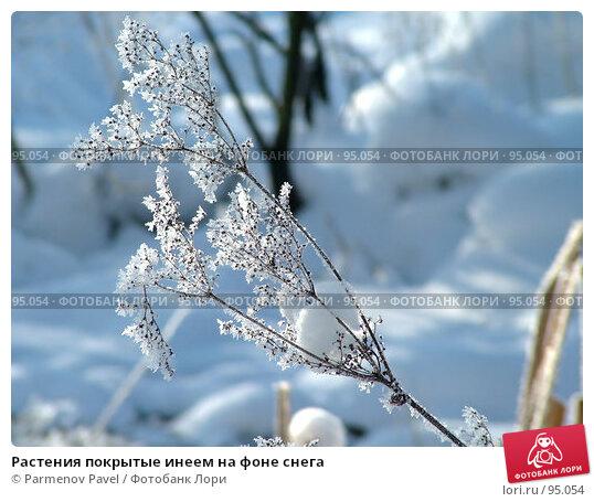 Купить «Растения покрытые инеем на фоне снега», фото № 95054, снято 12 февраля 2007 г. (c) Parmenov Pavel / Фотобанк Лори