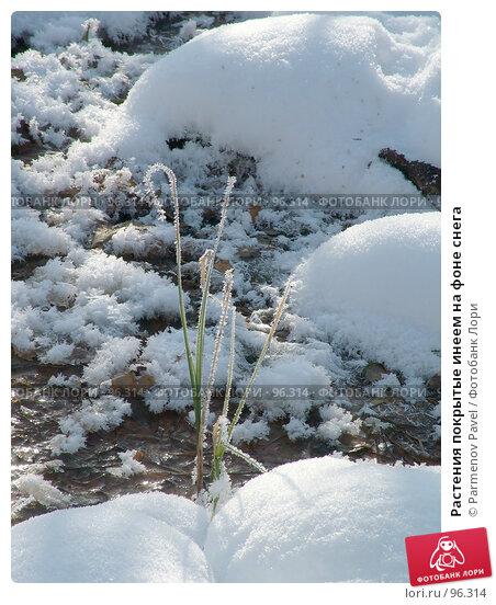 Растения покрытые инеем на фоне снега, фото № 96314, снято 12 февраля 2007 г. (c) Parmenov Pavel / Фотобанк Лори