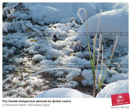 Растения покрытые инеем на фоне снега, фото № 96318, снято 12 февраля 2007 г. (c) Parmenov Pavel / Фотобанк Лори