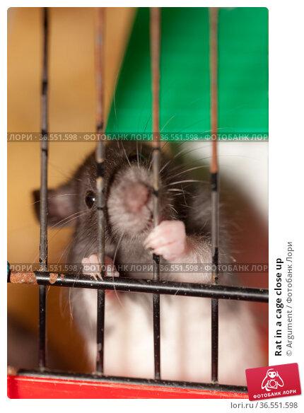 Rat in a cage close up. Стоковое фото, фотограф Argument / Фотобанк Лори
