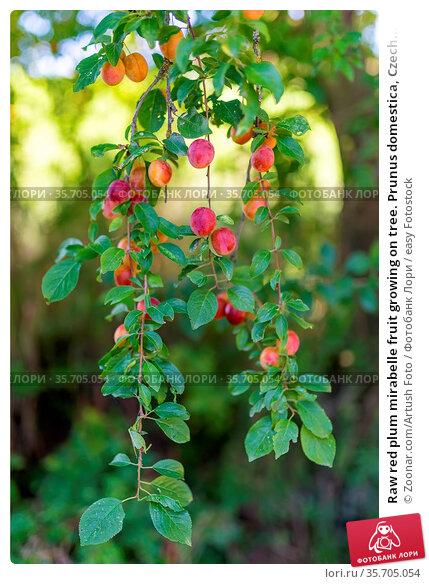 Raw red plum mirabelle fruit growing on tree. Prunus domestica, Czech... Стоковое фото, фотограф Zoonar.com/Artush Foto / easy Fotostock / Фотобанк Лори