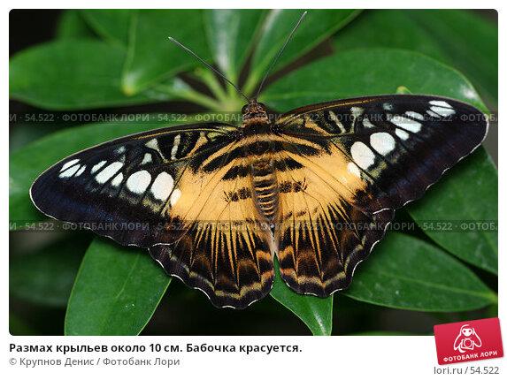Размах крыльев около 10 см. Бабочка красуется., фото № 54522, снято 15 мая 2007 г. (c) Крупнов Денис / Фотобанк Лори