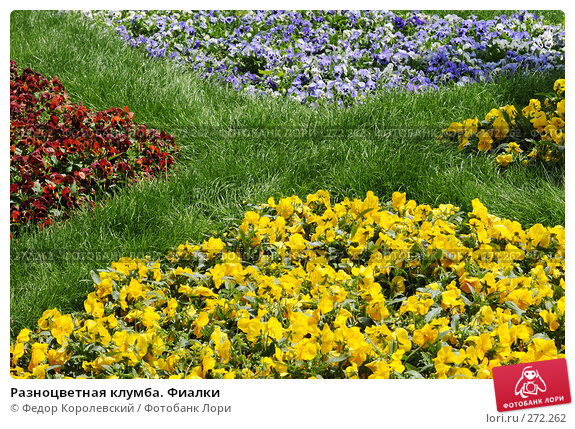 Купить «Разноцветная клумба. Фиалки», фото № 272262, снято 31 марта 2007 г. (c) Федор Королевский / Фотобанк Лори