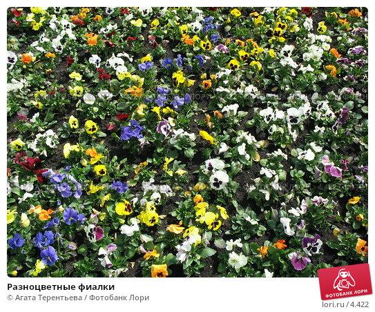 Купить «Разноцветные фиалки», фото № 4422, снято 21 мая 2006 г. (c) Агата Терентьева / Фотобанк Лори