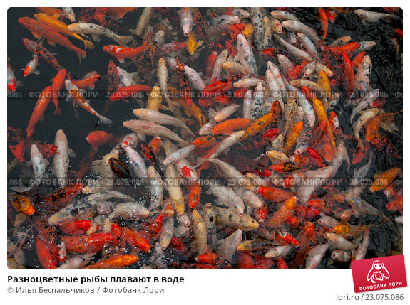 Разноцветные рыбы плавают в воде. Стоковое фото, фотограф Илья Беспальчиков / Фотобанк Лори