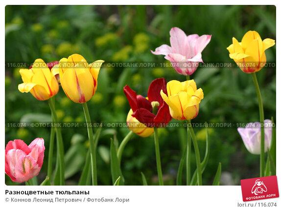 Купить «Разноцветные тюльпаны», фото № 116074, снято 19 мая 2007 г. (c) Коннов Леонид Петрович / Фотобанк Лори
