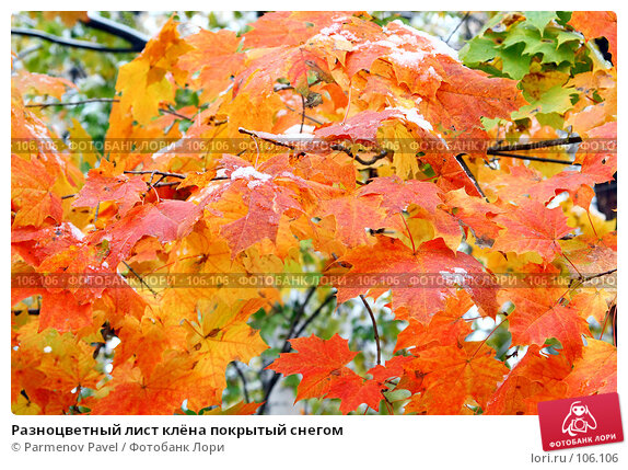 Разноцветный лист клёна покрытый снегом, фото № 106106, снято 16 октября 2007 г. (c) Parmenov Pavel / Фотобанк Лори