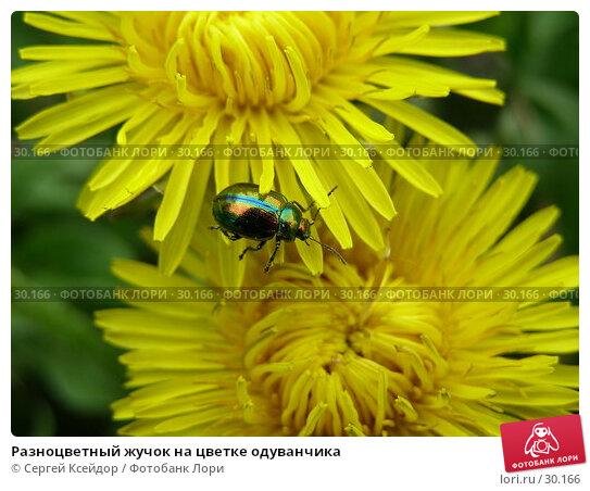 Разноцветный жучок на цветке одуванчика, фото № 30166, снято 28 мая 2006 г. (c) Сергей Ксейдор / Фотобанк Лори