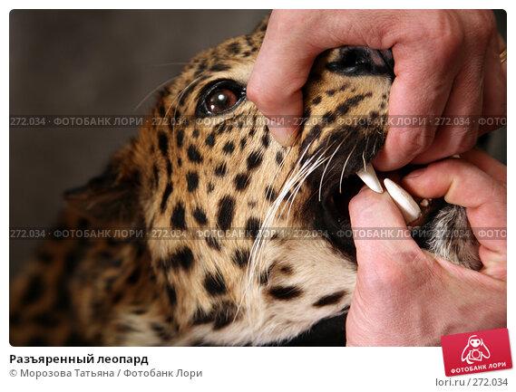 Разъяренный леопард, фото № 272034, снято 3 мая 2008 г. (c) Морозова Татьяна / Фотобанк Лори