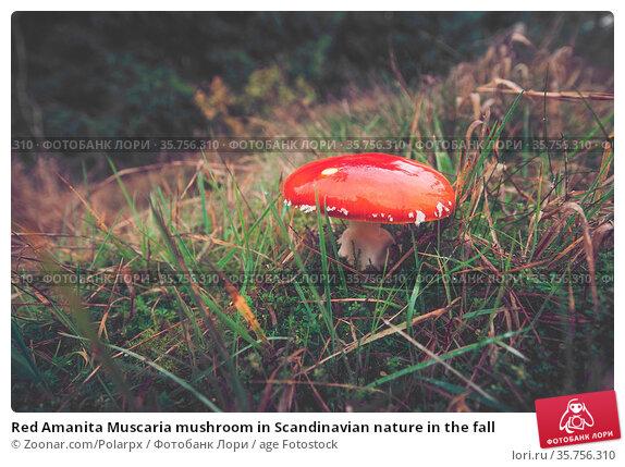 Red Amanita Muscaria mushroom in Scandinavian nature in the fall. Стоковое фото, фотограф Zoonar.com/Polarpx / age Fotostock / Фотобанк Лори