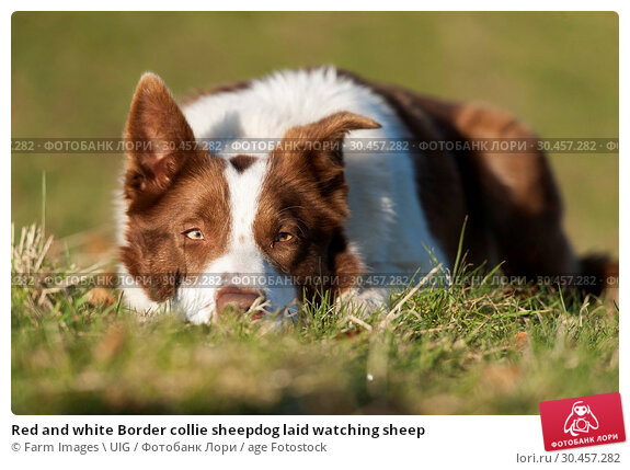 Red and white Border collie sheepdog laid watching sheep. Стоковое фото, фотограф Farm Images \ UIG / age Fotostock / Фотобанк Лори