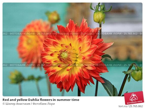 Купить «Red and yellow Dahlia flowers in summer time», фото № 25765862, снято 4 сентября 2016 г. (c) Шилер Анастасия / Фотобанк Лори