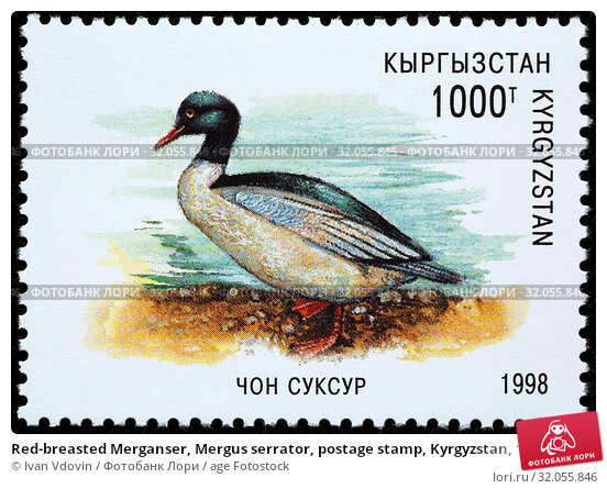 Red-breasted Merganser, Mergus serrator, postage stamp, Kyrgyzstan, 1998. (2013 год). Редакционное фото, фотограф Ivan Vdovin / age Fotostock / Фотобанк Лори