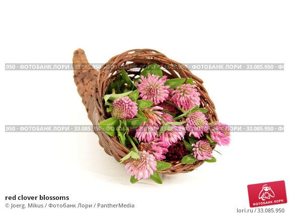 Купить «red clover blossoms», фото № 33085950, снято 20 февраля 2020 г. (c) PantherMedia / Фотобанк Лори