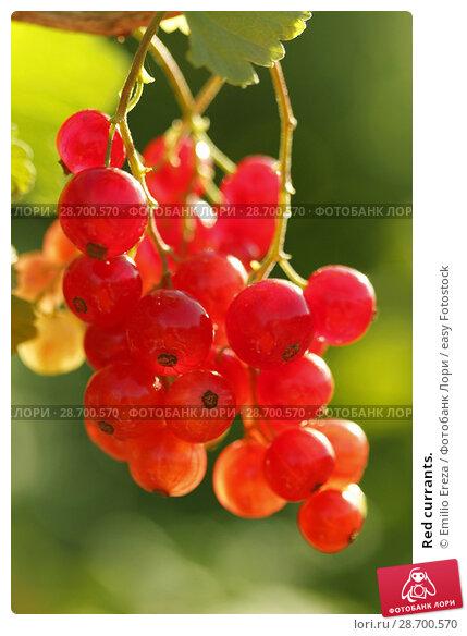 Купить «Red currants.», фото № 28700570, снято 15 июня 2018 г. (c) easy Fotostock / Фотобанк Лори