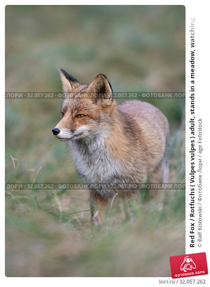 Red Fox / Rotfuchs ( Vulpes vulpes ) adult, stands in a meadow, watching, waiting carefully, in typical pose, nice surrounding and colours, wildlife, Europe. Стоковое фото, фотограф Ralf Kistowski / age Fotostock / Фотобанк Лори