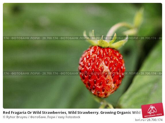 Купить «Red Fragaria Or Wild Strawberries, Wild Strawberry. Growing Organic Wild Strawberry. Ripe Berry In Fruit Garden.», фото № 28700174, снято 12 июня 2016 г. (c) easy Fotostock / Фотобанк Лори