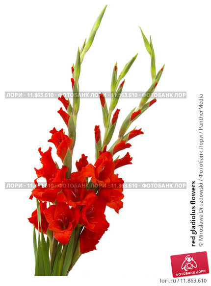 Купить «red gladiolus flowers», фото № 11863610, снято 22 апреля 2019 г. (c) PantherMedia / Фотобанк Лори