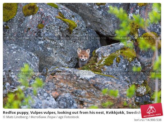 Купить «Redfox puppy, Vulpes vulpes, looking out from his nest, Kvikkjokk, Swedish lapland, Sweden.», фото № 14900538, снято 19 июня 2018 г. (c) age Fotostock / Фотобанк Лори