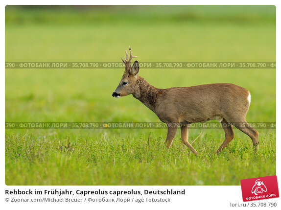 Rehbock im Frühjahr, Capreolus capreolus, Deutschland. Стоковое фото, фотограф Zoonar.com/Michael Breuer / age Fotostock / Фотобанк Лори