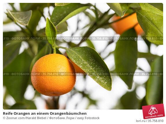 Reife Orangen an einem Orangenbäumchen. Стоковое фото, фотограф Zoonar.com/Harald Biebel / easy Fotostock / Фотобанк Лори