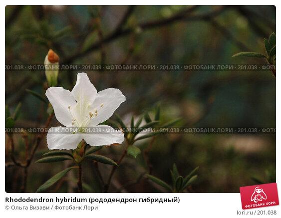 Rhododendron hybridum (рододендрон гибридный), эксклюзивное фото № 201038, снято 9 февраля 2008 г. (c) Ольга Визави / Фотобанк Лори