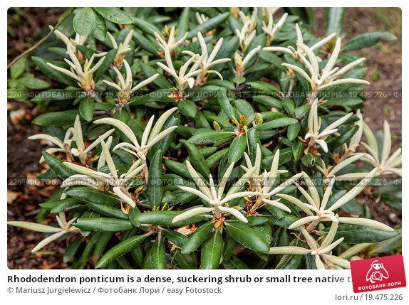 Купить «Rhododendron ponticum is a dense, suckering shrub or small tree native to southern Europe and southwest Asia.», фото № 19475226, снято 12 ноября 2019 г. (c) easy Fotostock / Фотобанк Лори