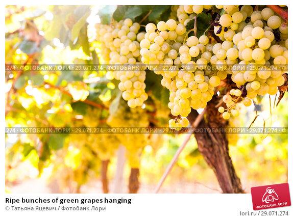 Купить «Ripe bunches of green grapes hanging», фото № 29071274, снято 24 апреля 2019 г. (c) Татьяна Яцевич / Фотобанк Лори