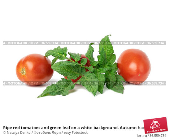 Ripe red tomatoes and green leaf on a white background. Autumn harvest... Стоковое фото, фотограф Natalya Danko / easy Fotostock / Фотобанк Лори