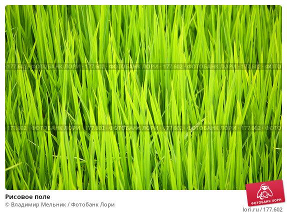 Рисовое поле, фото № 177602, снято 19 июля 2006 г. (c) Владимир Мельник / Фотобанк Лори