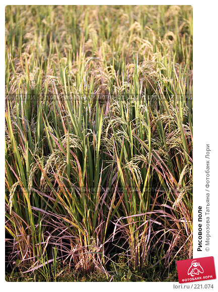 Рисовое поле, фото № 221074, снято 23 октября 2007 г. (c) Морозова Татьяна / Фотобанк Лори