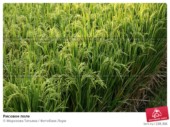 Рисовое поле, фото № 238306, снято 23 октября 2007 г. (c) Морозова Татьяна / Фотобанк Лори