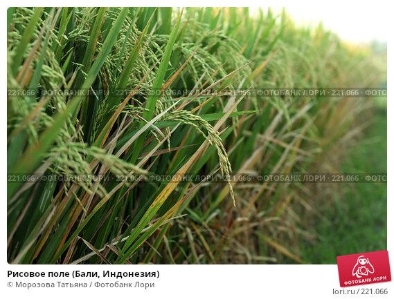 Рисовое поле (Бали, Индонезия), фото № 221066, снято 23 октября 2007 г. (c) Морозова Татьяна / Фотобанк Лори