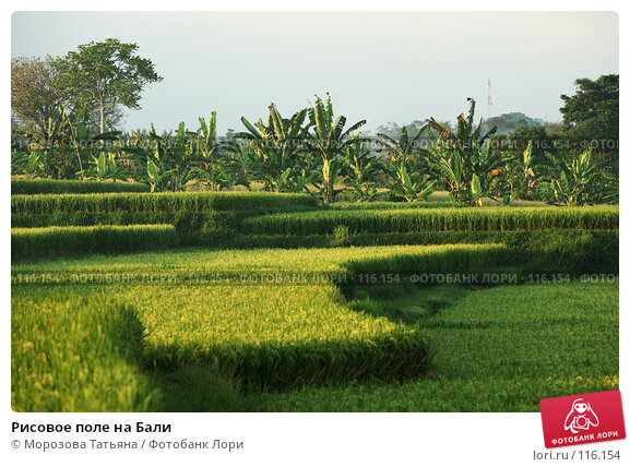 Рисовое поле на Бали, фото № 116154, снято 23 октября 2007 г. (c) Морозова Татьяна / Фотобанк Лори