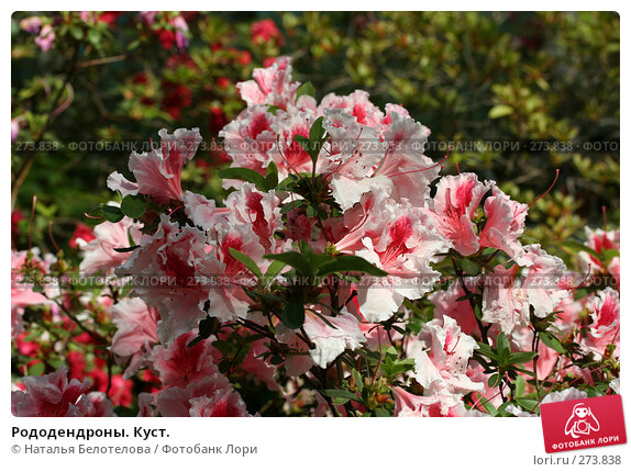 Рододендроны. Куст., фото № 273838, снято 3 мая 2008 г. (c) Наталья Белотелова / Фотобанк Лори