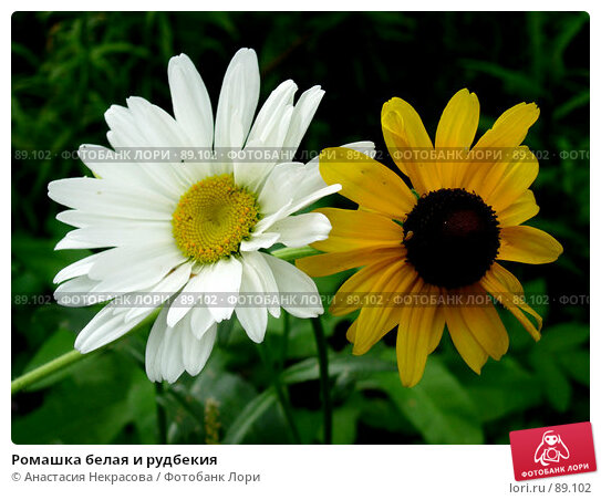 Ромашка белая и рудбекия, фото № 89102, снято 25 июля 2005 г. (c) Анастасия Некрасова / Фотобанк Лори