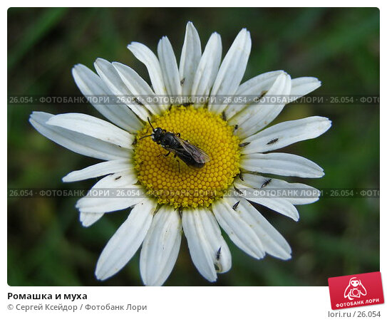 Купить «Ромашка и муха», фото № 26054, снято 18 июня 2006 г. (c) Сергей Ксейдор / Фотобанк Лори